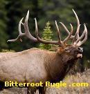 bitterroot-bugle